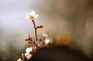 mandelträd foto