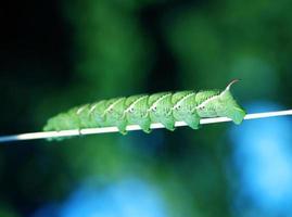 tomathorn larv. foto