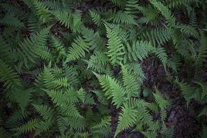 new york ferns