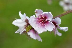 blommande persikaträd. foto