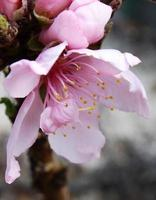 prydnads persika blomma foto