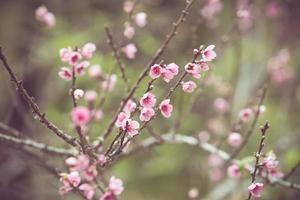 persika blomma vårblomma