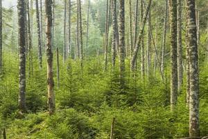 levande vintergrön skog foto