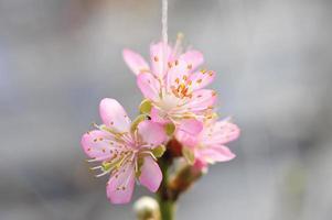 persikablomningen i växthusarna foto