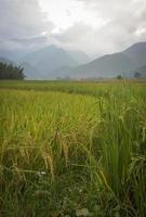 risfält på skördsäsongen på tu stad foto