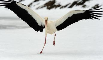 stork foto