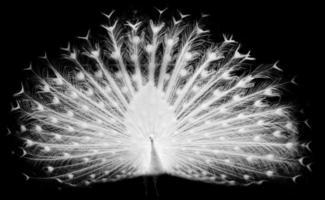 vit påfågel foto