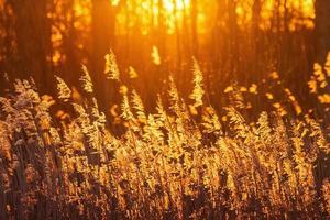 solnedgång vass foto