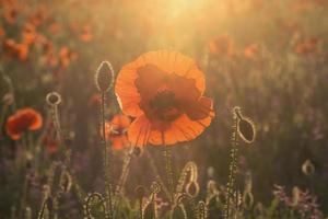 solnedgång vallmo foto