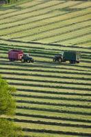 traktorer och släpvagnar som klipper ensilage i fält foto