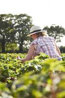 kvinnliga plockning jordgubbar i ett fält foto