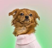 närbild av en klädd chihuahua blandad ras, 10 månader gammal foto