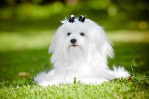 maltesisk hund som ligger ner foto