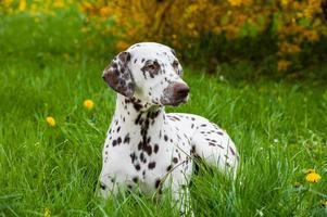 dalmatisk hund foto