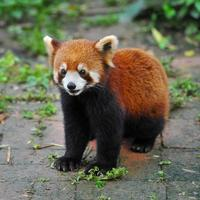 röd pandabjörn foto