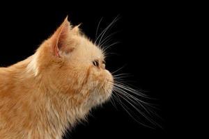 närbild porträtt exotisk ingefära katt i profilvy på svart foto