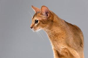 renrasig abyssinian ung kattstående foto