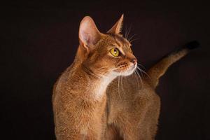 rödig abyssinian katt på svart brun bakgrund foto