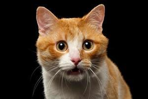 närbild överraskad ingefära katt med öppnad mun på svart foto