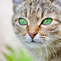 randig katt med gröna ögon foto