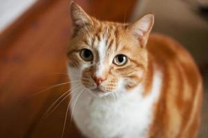 busig ingefära katt foto