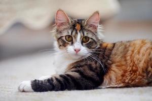 porträtt av en mångfärgad katt med gula ögon. foto