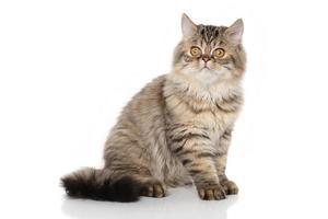 persisk katt framför vit bakgrund foto
