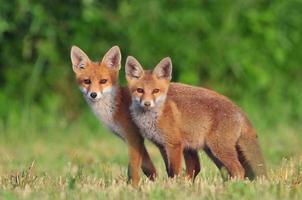 två röda rävar foto