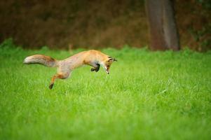 röd räv på jakt, mousing i gräsfält foto