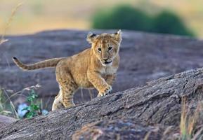 masai mara lejon foto