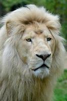 porträtt av vitt lejon foto