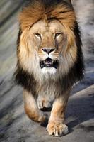 närbild lejon foto