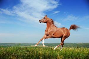 vacker röd arabisk häst springande galopp foto