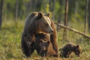 brunbjörnsfamilj foto