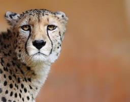 kvinnlig cheetah med kopia utrymme foto