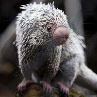 närbild av en söt brasiliansk piggsvin (coendou prehensilis; grunt Dof) foto