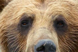 grizzly på nära håll foto