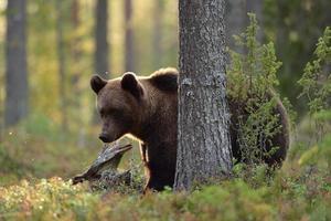brunbjörn i skogen på hösten