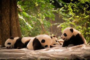 panda är en nationell tresure i Kina foto