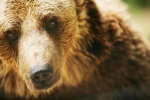 Brun björn foto