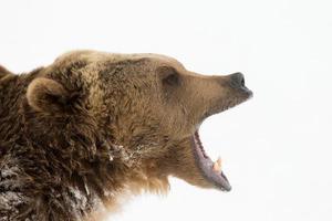 vuxen nordamerikansk grizzlybjörn foto