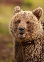 eurasisk brunbjörn (ursos arctos) foto