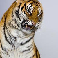 tiger snarling foto