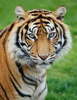 tiger foto