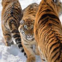 tre tigrar foto