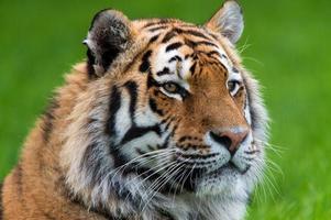 siberian tiger (panthera tigris) foto