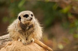 meerkat på vakt foto