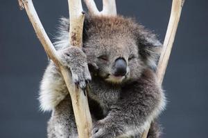 sova koala foto
