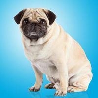 mops hund på en blå bakgrund foto