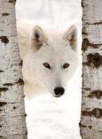 arktisk wold tittar mellan två träd foto